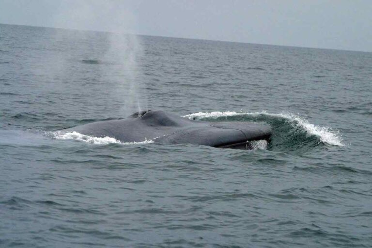 Steypireiður bluewhale